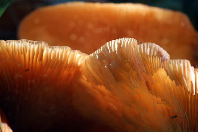 Sunday Mushroom