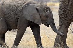 African Elephant (Loxodonta africana), Etosha NP, Namibia