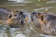 Nutria argument in the water