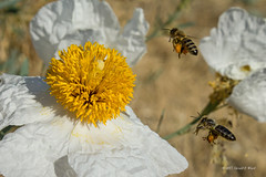 matilija poppy and bees 3349