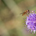 Scabious Hoverfly