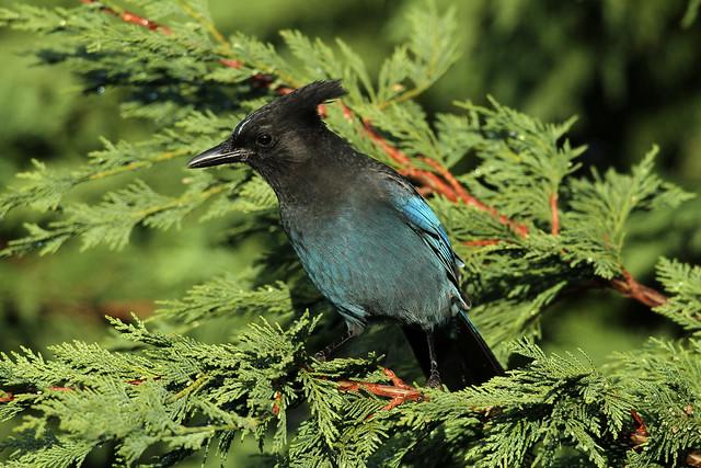 Cyanocitta stelleri (Steller's Jay) - Everett, WA