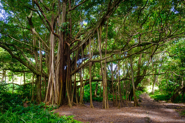 banyan tree in aforest in Maui