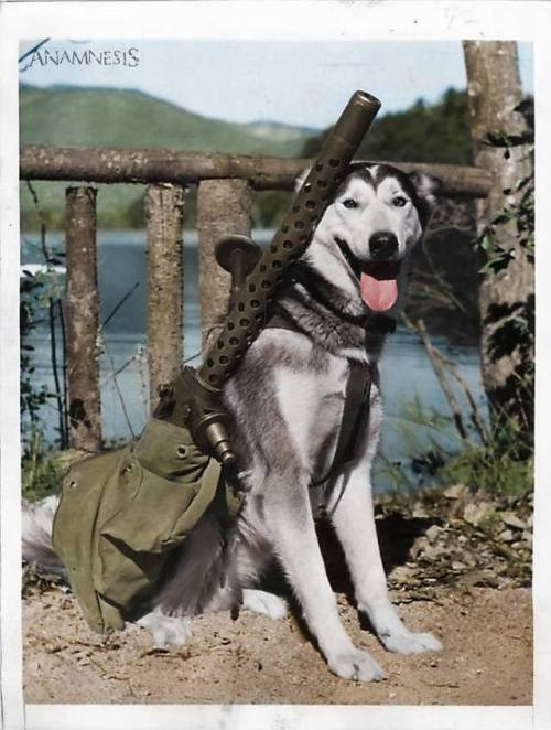 """Muklug"""" - Siberian Husky trained to carry Machine Guns in the event of Japan invading Alaska - 1942."""