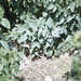 Small photo of Herons nest on ground Acalypha and Achyranthes