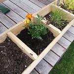 marigold planting in Herb planter on the deck by shiny