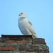 Dove on a chimney stack in Lavenham, Suffolk