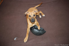 Puppy Gigi with the stripped bare soccer ball.