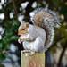 Nut munching squirrel