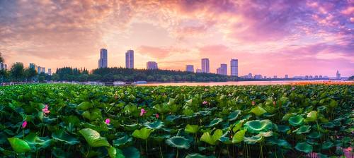 panorama lotus waterlily water petal green sunset cloud nanjingshi jiangsusheng china summer dusk dark nanjing urban lake hdr city cityscape sky skyscraper skyline outdoor nature landscape nikon nikond800 tamronsp1530f28