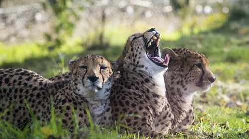 Cheetahs 27th Oct 17 (1)