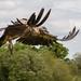 Condor airborne