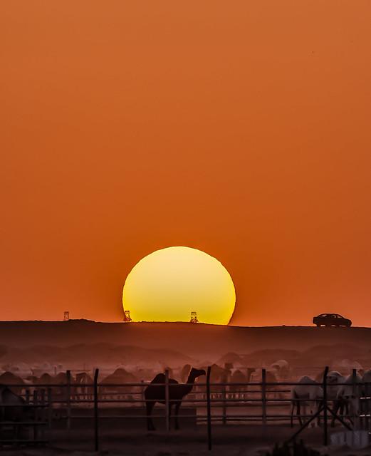Desert Camel in the shade of Sunset