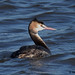 great crested grebe 12 2017