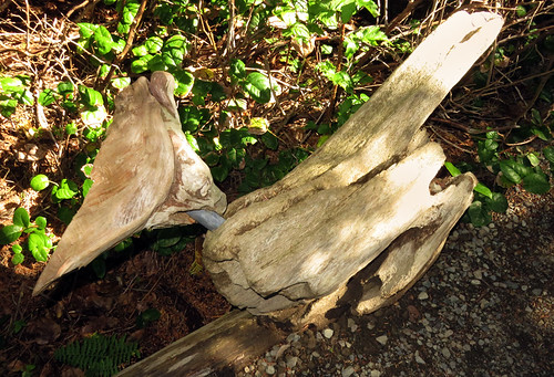 Driftwood Blue Jay on Ucluelet's Wild Pacific Trail