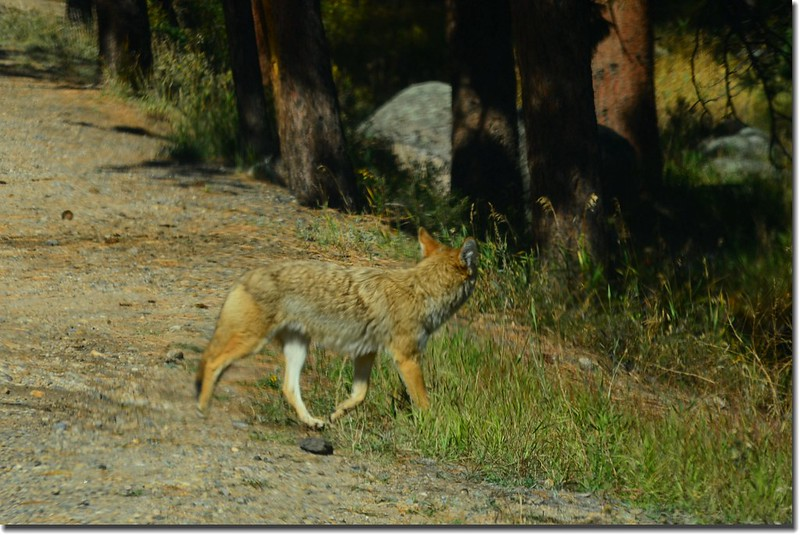 Coyote at Rocky Mountain National Park