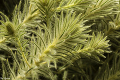 Featherhead (Phylica pubescens)