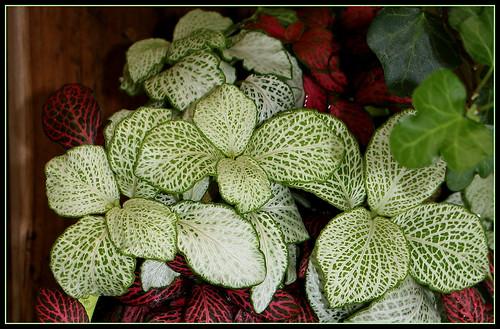Fittonia hybride (albivenis x  verschaffeltii) 23714851728_55773e6645