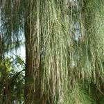Casuarina glauca 'leaves'