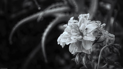 Black and white dew