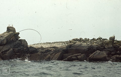 Great black-backed gulls and Herring gulls on Annette Island bird sanctuary