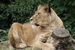 Headshot Leeuwin (Panthera leo)_-3
