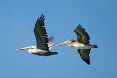 Local flappers of pelican precision aerobatics team PDSC_0197