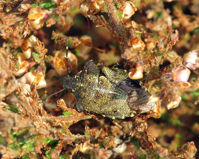 Bronze Shieldbug - Troilus luridus