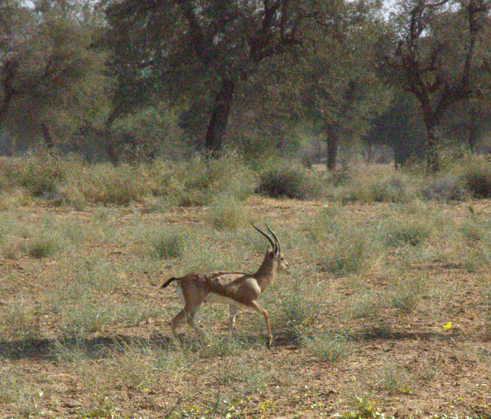 Deer runs free at Salawas