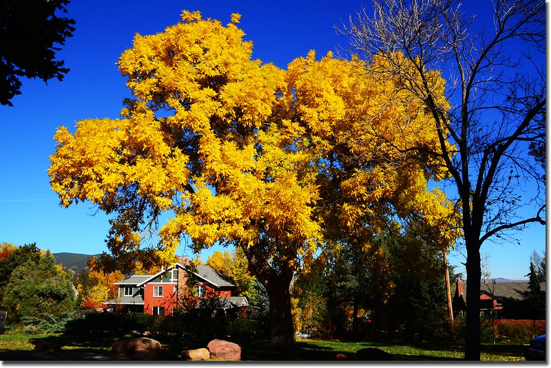 2017 Maple in Fall, Boulder, Colorado  (31)