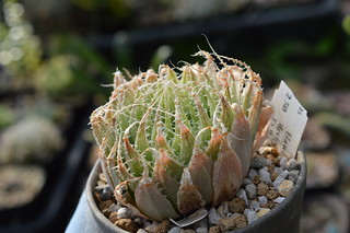 DSC_6712 Haworthia decipiens var. decipiens ハオルチア デシピエンス Seedings no clone Ex WT