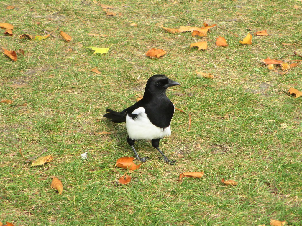 UK Magpie