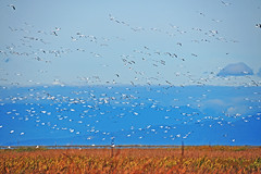 Snow Geese Flying 17-1015-5229