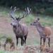 Red Deer Stag 14 Pt Cervus elaphus 048-1