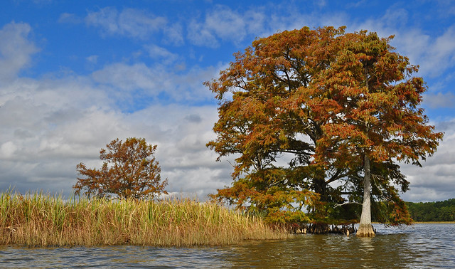 Chickahominy River  with Taxodium distichum (Bald Cypress) 10-7-17 (29)