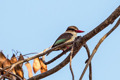 Brown-hooded Kingfisher/Halcyon senegalensis