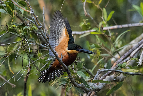 Pantanal: Green-and-rufous Kingfisher Spreads Its Wings