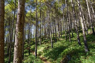 カラマツ樹林帯@八ヶ岳横断歩道