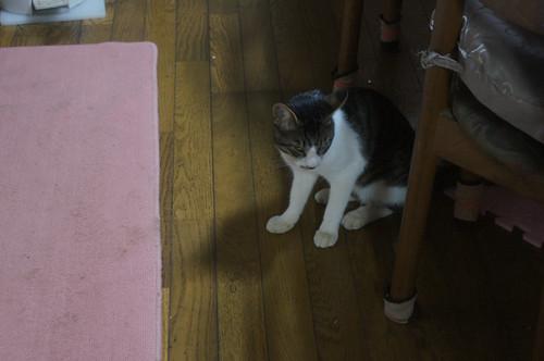 ネコの去勢