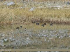 Mallard (Anas platyrhynchos), Eurasian Wigeon (Anas penelope), Gadwall (Anas strepera), Northern Pintail (Anas acuta) & Northern Shoveler (Anas clypeata)