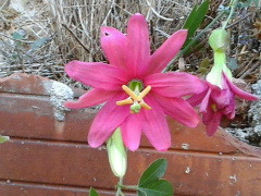 Passiflora 'Coral Glow' (hybr. sect. Tacsonia) ? [Identification] 37767825971_08cab8d15c_m