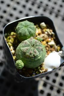 DSC_6504 Euphorbia obesa ユーフォルビア オベサ