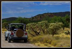 Saguaros_6467d