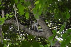 Mona monkey twisting a neck