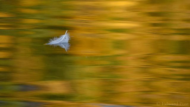 Swan Feather on an Autumn Pond