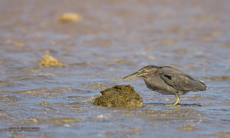 Striated heron, Butorides striata