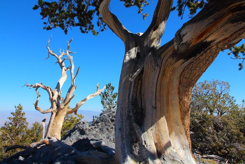 IMG_8238 Great Basin Bristlecone Pine