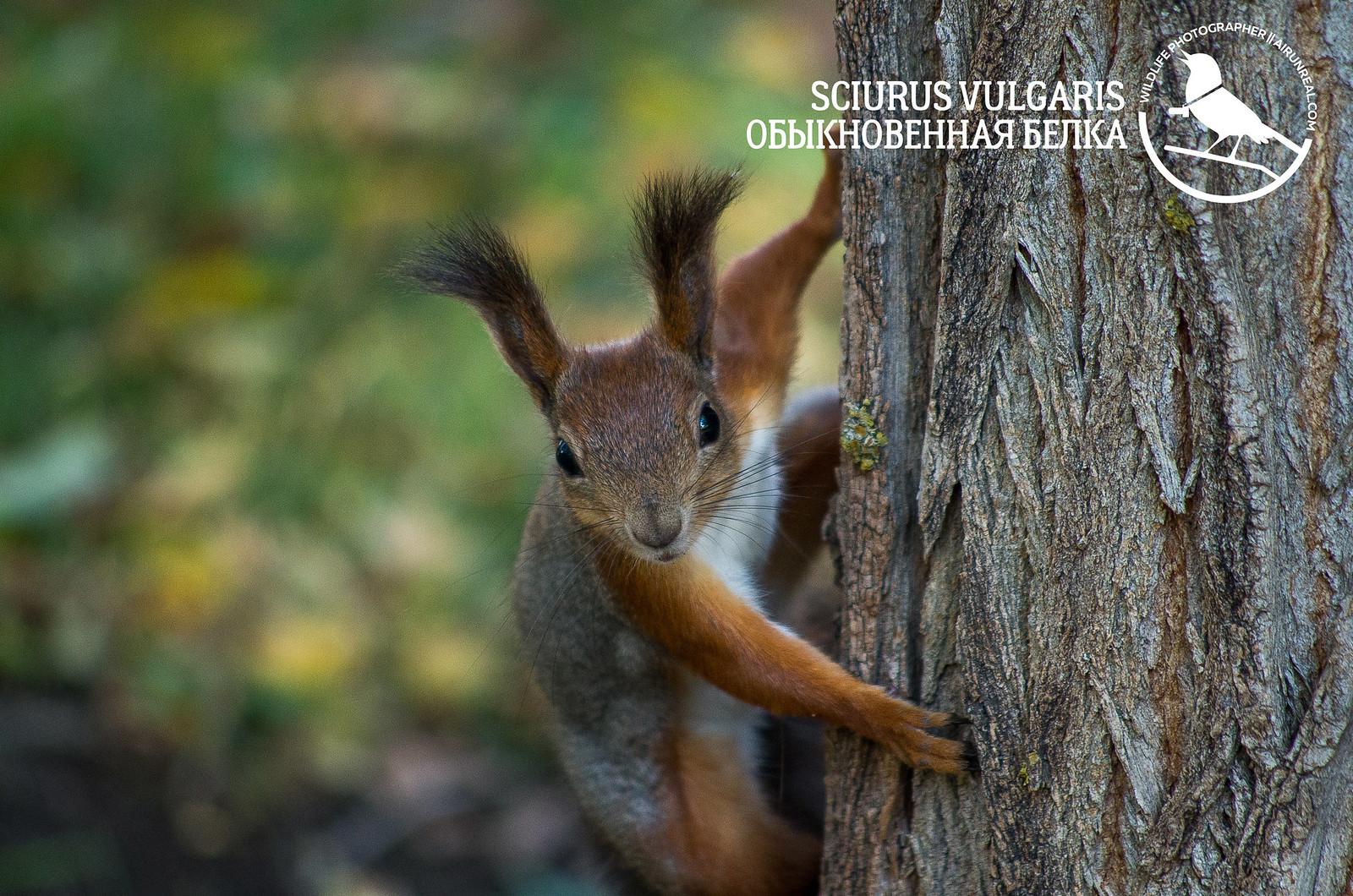 Sciurus vulgaris // 20171031