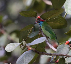 Blue-cheeked Barbet copy