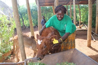 VBDA Priscilla Auma attending to her pure bred, Ayrshire bull calf .When the calf matures, it will  improve the local breeds in Muyeye B village, Busia County, Kenya.